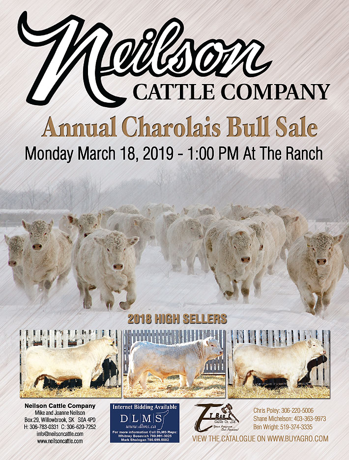 Neilson Cattle Company two year old bull sale